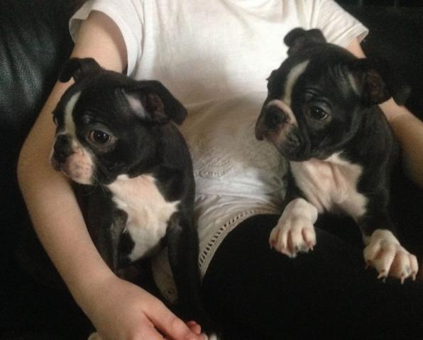 REGALO Boston Cachorros Para La Adopción