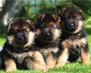 Regalo Cachorros passtor aleman