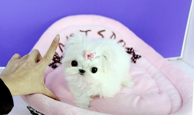 Regalo Cachorros Bichon maltes Miniaratura para su adopcion...
