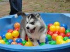 Regalo Cachorros husky para adopcion**