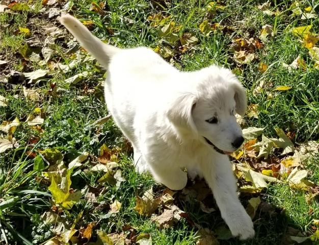 Regalo Goldern retriever cachorros buscando una casa