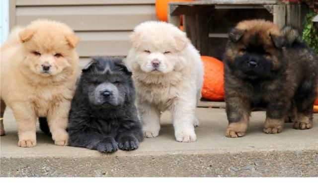 Regalo Adorable Cachorros Chow Chow
