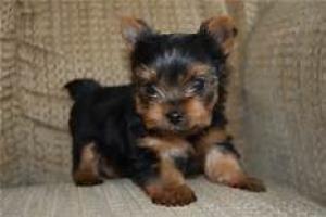 Regalo lindo yorkshire terrier mini toy cachorros