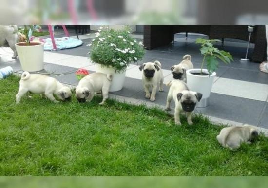 4 Carlino Pug masculina y femenina disponible