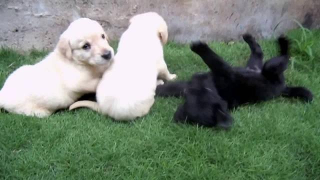 Regalo dos lindos Labrador Retriever cachorros