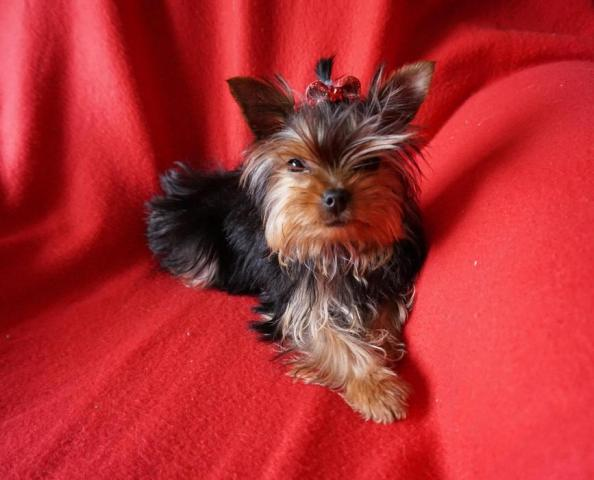 Regalo lindo yorkshire terrier mini toy