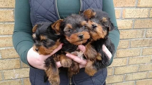 Regalo cachorros de Yorkshire Terrier para volver a casa