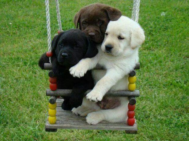 Regalo cachorros de Labrador para volver a casa