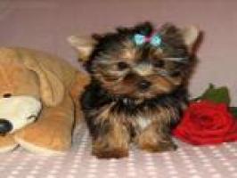 cachorros toy , de yorkshire terrier