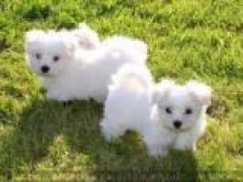 Cachorros bichon maltes toy mini
