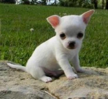Chihuahua sano cachorros disponibles Tenemos dos cachorros largos