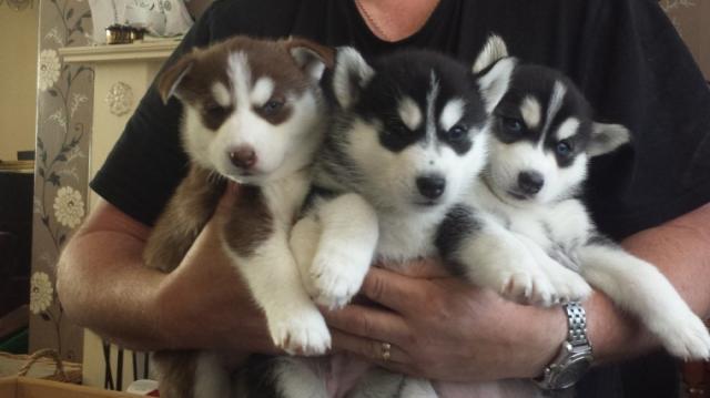 cachorros de husky sanos y entrenados listos para nuevas vivienda