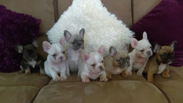 Regalo Bulldog Frances disponibles Para Adopción