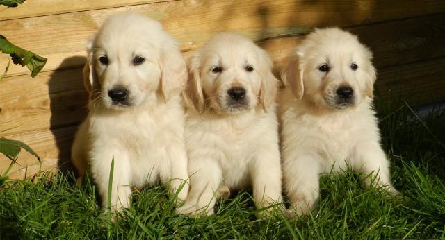 Regalo Fantastico Cachorros Golden Retriever