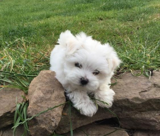 Regalo cachorro adopción maltés de hotneygrace@gmail.com