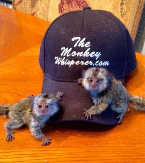 mono tití, mono capuchino, ardilla y araña mono