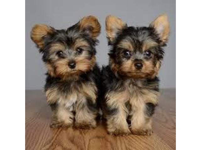 Increíbles Cachorros de juguete de Yorkshire