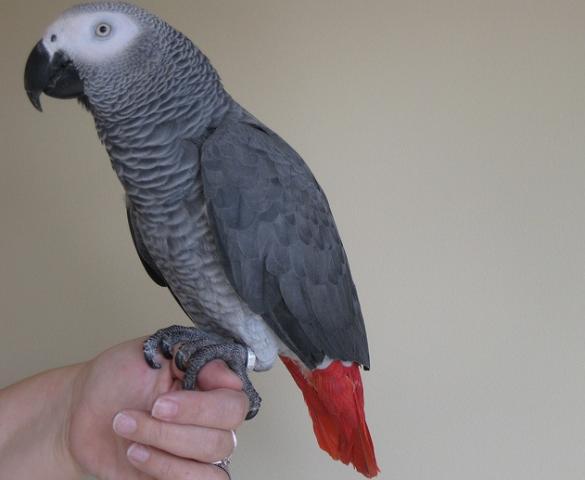 Tres loro gris africano para la adopción (Yaco cola De Roja)