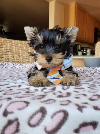 REGALO Yorkshire Terrier masculino Y femenino