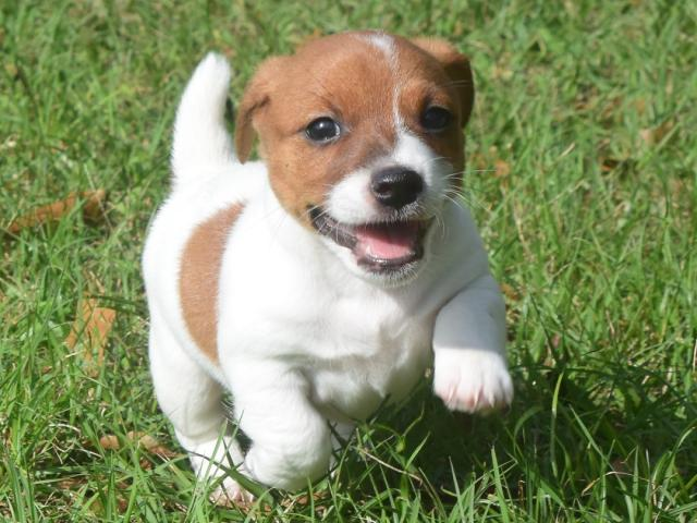 Regalo Fantastico Cachorros Jack Russell