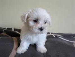 Dos preciosos cachorros malteses de bitchon necesitan una nueva f