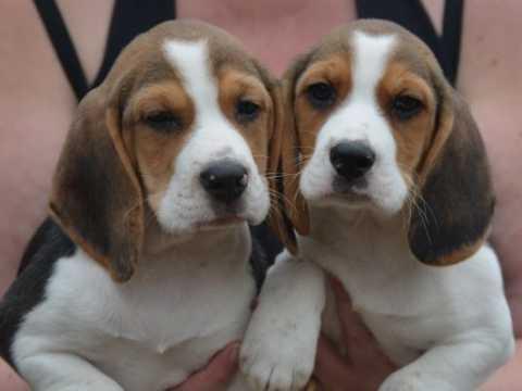 Encantador perrito Beagle para la adopción