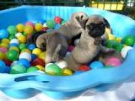 Regalo pug carlino cachorros Para adopcion RGL
