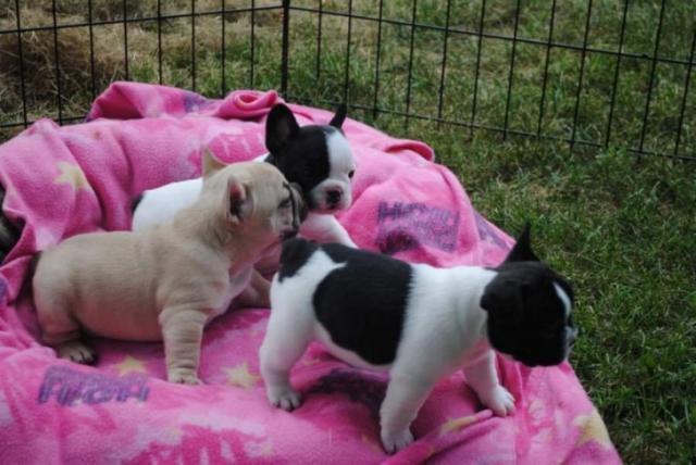 Regalo Lindos cachorros Bulldog francés