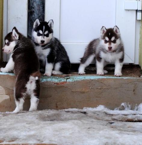 Kc Registrado Husky Siberian Pups