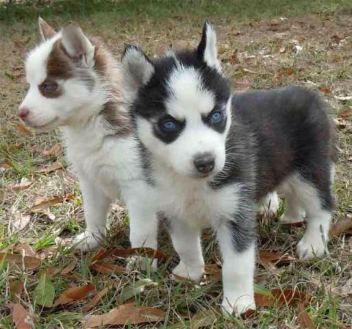Preciosos Husky siberiano