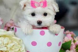 Bichon maltes mini toy gratis