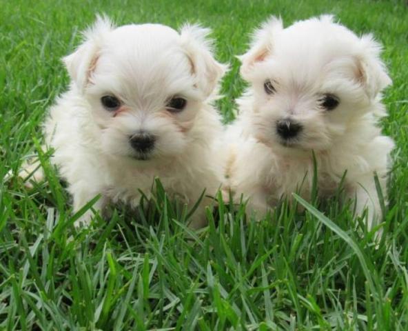 Cachorros de pura raza Bichon maltés