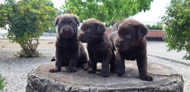 Ullals de l Ebre Labradores Chocolate