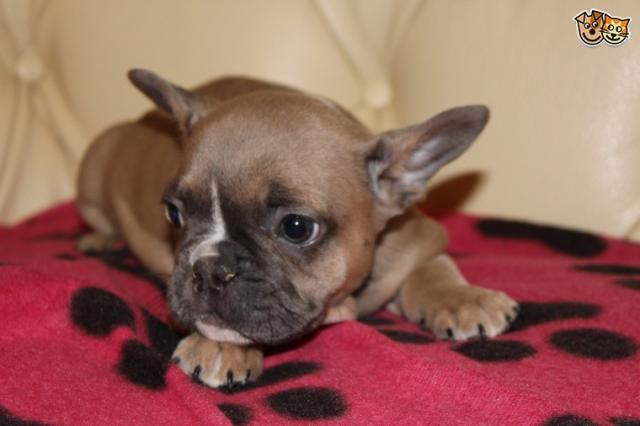 regalo impresionante cachorros bulldog francés listo para su ado