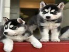 Regalo Fantastico Cachorros siberian husky