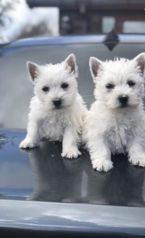 Brillantes e inteligentes Cachorros Westie para Adopción Gratis