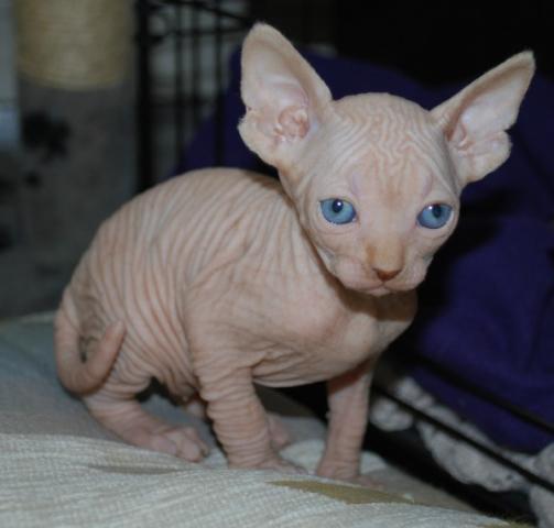 regalo gatitos Sphynx muy bonitos