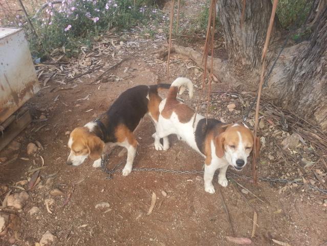 Beagle tricolor con 2 años de edad