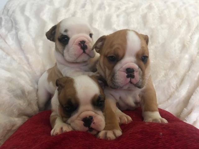 Cachorro de Bulldog Inglés de 12 semanas de edad