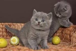 Regalo gatitos Britico pelo corto