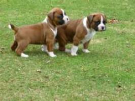Regalo Excelente Cachorros boxer