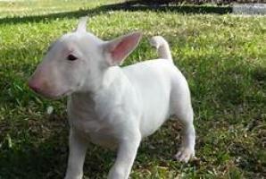 Regalo Excelente Cachorros bull terrier