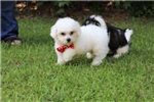 Regalo Excelente Cachorros bichon maltese