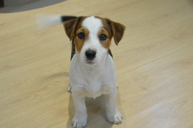 Excelentes Jack Russell cachorros a la venta