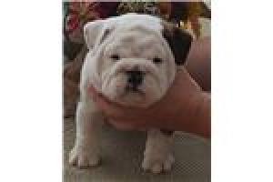Los lindos cachorros de bulldogs ingleses necesitan un nuevo hoga