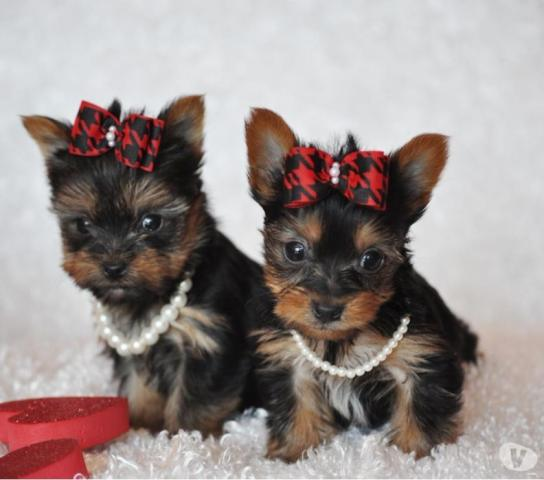 Regalo cachorros toy yorkshire terrie