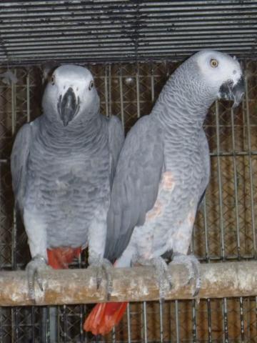 Regalo Loros Yaco Papillero con excelente pedigrí