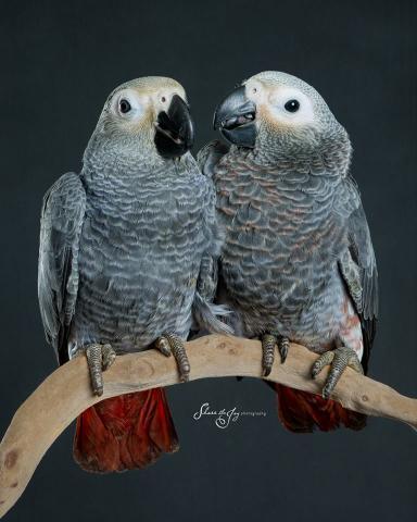 Dos excelente y hermoso loros gris africano para la adopción