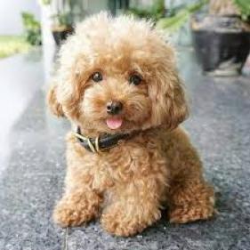 Hermosos cachorros Caniche en venta
