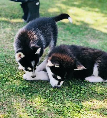 Regalo Siberiano Husky Macho y Hembra Para Su Adopcion
